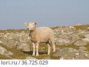 Schaf auf euner Wiese in der Nähe von Lista in Südnorwegen. Стоковое фото, фотограф Zoonar.com/Eder Christa / easy Fotostock / Фотобанк Лори