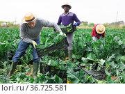 Professional male farmer holding crate with broccoli. Стоковое фото, фотограф Яков Филимонов / Фотобанк Лори