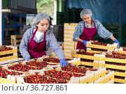 Asian female farmers posing with cherry crates in the warehouse. Стоковое фото, фотограф Яков Филимонов / Фотобанк Лори