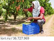 African American man harvesting ripe peaches at sunny fruit farm. Стоковое фото, фотограф Яков Филимонов / Фотобанк Лори
