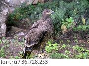 Степной орел в московском зоопарке. Редакционное фото, фотограф Free Wind / Фотобанк Лори