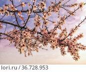 Blossom almond tree in Pinto. Madrid. Spain. Europe. Стоковое фото, фотограф María del Valle Martín Morales / age Fotostock / Фотобанк Лори