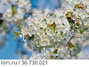 Beautiful flowering fruit trees. Blooming plant branches in spring... Стоковое фото, фотограф Zoonar.com/Jiri Plistil / easy Fotostock / Фотобанк Лори