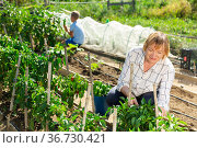 Grandmother and grandson work on a bell peppers plantation. Стоковое фото, фотограф Яков Филимонов / Фотобанк Лори