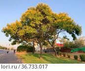 Tree Doubtful Peltoforum or Yellow Flame or Peltoforum winged. Редакционное фото, фотограф Irina Opachevsky / Фотобанк Лори
