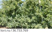 Growing yellow organic apples on tree branch in orchard in sunny day. Стоковое видео, видеограф Яков Филимонов / Фотобанк Лори