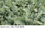 Field of ripe organically grown broccoli on a sunny spring day. Growing organic vegetables. Стоковое видео, видеограф Яков Филимонов / Фотобанк Лори