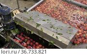 Fresh ripe peaches washing and cleaning in packing warehouse. Стоковое видео, видеограф Яков Филимонов / Фотобанк Лори