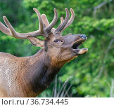 Roosevelts elk / Roosevelts wapiti (Cervus canadensis roosevelti) calling, displaying the preobital gland, Prairie Creek Redwoods State Park, California, USA. Стоковое фото, фотограф Jack Dykinga / Nature Picture Library / Фотобанк Лори
