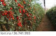 Ripe red cherry tomatoes grow on branches in farm greenhouse. High quality FullHD footage. Стоковое видео, видеограф Яков Филимонов / Фотобанк Лори