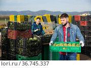Adult worker carrying crates with artichokes. Стоковое фото, фотограф Яков Филимонов / Фотобанк Лори