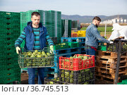 Experienced adult farmer working on vegetable plantation, stacking plastic boxes with freshly harvested artichokes. Стоковое фото, фотограф Яков Филимонов / Фотобанк Лори