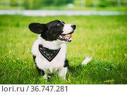 Funny Cardigan Welsh Corgi Dog Playing In Green Summer Grass In Park... Стоковое фото, фотограф Ryhor Bruyeu / easy Fotostock / Фотобанк Лори