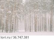 Snowy White Forest In Winter Frosty Day. Snowing In Winter Frost Woods... Стоковое фото, фотограф Ryhor Bruyeu / easy Fotostock / Фотобанк Лори