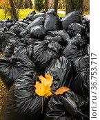 Lots of black plastic bags filled with fallen leaves. Moscow, Russia. Стоковое фото, фотограф Володина Ольга / Фотобанк Лори