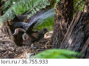 Superb lyrebird (Menura novaehollandiae) male displaying and calling on ground under Tree ferns (Cyatheales) in wet eucalypt forest, Lakes Entrance Rainforest, Victoria, Australia. Стоковое фото, фотограф Bruce Thomson / Nature Picture Library / Фотобанк Лори