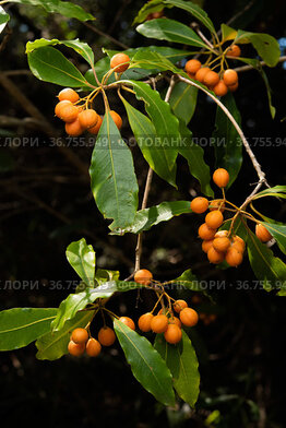 Native daphne / Australian cheesewood / Mock orange (Pittosporum undulatum) berries, Australia.