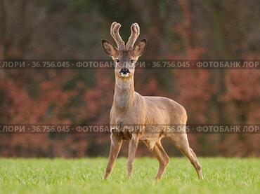 Roe Deer (Capreolus capreolus) buck in early spring, UK. March.