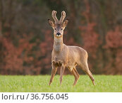 Roe Deer (Capreolus capreolus) buck in early spring, UK. March. Стоковое фото, фотограф Andy Rouse / Nature Picture Library / Фотобанк Лори