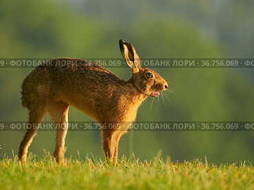 European Hare (Lepus europaeus) stretching in morning light, UK. June.