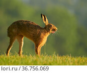 European Hare (Lepus europaeus) stretching in morning light, UK. June. Стоковое фото, фотограф Andy Rouse / Nature Picture Library / Фотобанк Лори
