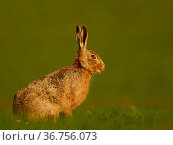 European Hare (Lepus europaeus) in morning light, UK. Стоковое фото, фотограф Andy Rouse / Nature Picture Library / Фотобанк Лори
