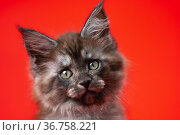 Head of lovely baby Coon Cat with furry fur of color black smoke. Portrait on red background. Стоковое фото, фотограф А. А. Пирагис / Фотобанк Лори