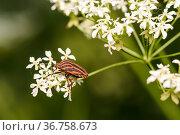 Красно-чёрный полосатый клоп щитник линейчатый или графозома полосатая сидит на цветке. Стоковое фото, фотограф Игорь Низов / Фотобанк Лори