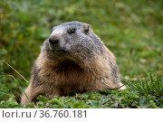 Murmeltier, Alpenmurmeltier, (Marmota marmota), Aversertal Graubünden... Стоковое фото, фотограф Zoonar.com/Günter Lenz / age Fotostock / Фотобанк Лори