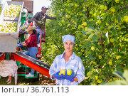 Woman standing in plantation with bunch of apples. Стоковое фото, фотограф Яков Филимонов / Фотобанк Лори