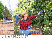 Senior woman harvesting plums in plantation. Стоковое фото, фотограф Яков Филимонов / Фотобанк Лори