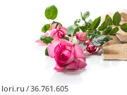 pink beautiful summer roses isolated on white. Стоковое фото, фотограф Peredniankina / Фотобанк Лори