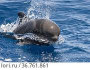 Short-finned pilot whale (Globicephala macrorhynchus) surfacing, South Tenerife, Canary Islands, Atlantic Ocean, July. Стоковое фото, фотограф Jordi Chias / Nature Picture Library / Фотобанк Лори