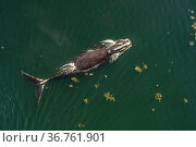 North Atlantic right whale (Eubalaena glacialis) with entanglement scars on the tail, aerial view, Bay of Fundy, Canada, September,. Стоковое фото, фотограф Nick Hawkins / Nature Picture Library / Фотобанк Лори