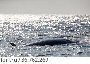 Minke whale (Baelanoptera acutorostrata) West of Andoya, Nordland, Northern Norway. August. Стоковое фото, фотограф Espen Bergersen / Nature Picture Library / Фотобанк Лори