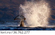 Killer whale / orca (Orcinus orca) splashing with tail fluke. Kvaloya, Troms, Norway October Sequence 3 of 7. Редакционное фото, фотограф Espen Bergersen / Nature Picture Library / Фотобанк Лори