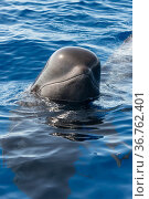 Short-finned pilot whale (Globicephala macrorhynchus) spyhopping. Tenerife, Canary Islands. Стоковое фото, фотограф Sergio Hanquet / Nature Picture Library / Фотобанк Лори