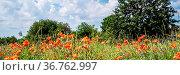 Mohnblüten und Kornblumen auf einer Wiese im Sommer. Стоковое фото, фотограф Zoonar.com/THOMAS RIESS / age Fotostock / Фотобанк Лори