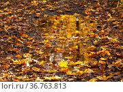 Pfütze mit bunten Herbstlaub. Стоковое фото, фотограф Zoonar.com/Daniel Kühne / age Fotostock / Фотобанк Лори