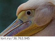 Pelikan Detail, Roetelpelikan (Pelecanus rufescans) , Vogel | Pelican... Стоковое фото, фотограф Zoonar.com/Günter Lenz / age Fotostock / Фотобанк Лори