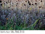 Die vertrockneten Blüten und Blätter eines Sonnenblumenfeldes im Herbst... Стоковое фото, фотограф Zoonar.com/Bastian Kienitz / easy Fotostock / Фотобанк Лори