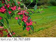 Gewöhnliche Spindelstrauch, Euonymus europaeus, spindle tree. Стоковое фото, фотограф Zoonar.com/Jürgen Vogt / easy Fotostock / Фотобанк Лори
