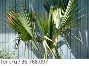 Die Palmenwedel einer Palme werfen Schatten an eine Bretterwand. Стоковое фото, фотограф Zoonar.com/Bastian Kienitz / easy Fotostock / Фотобанк Лори