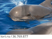 Short-finned pilot whale (Globicephala macrorhynchus) calf, head above surface. Tenerife, Canary Islands. Стоковое фото, фотограф Sergio Hanquet / Nature Picture Library / Фотобанк Лори