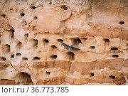 European Sand Martin Active Breeding Colony Near Burrows In Sand River... Стоковое фото, фотограф Ryhor Bruyeu / easy Fotostock / Фотобанк Лори