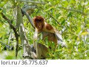 Nasenaffe auf einem Mangrovenbaum auf der Insel Borneo,Sarawak,Malaysia... Стоковое фото, фотограф Zoonar.com/Uwe Bauch / easy Fotostock / Фотобанк Лори