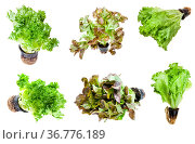 Various lettuces (leaf salad) in pots isolated on white background. Стоковое фото, фотограф Zoonar.com/Valery Voennyy / easy Fotostock / Фотобанк Лори