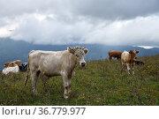 Livestock of cows grazing animals at mountain meadows pasture. Chechnya, Russia. Стоковое фото, фотограф Знаменский Олег / Фотобанк Лори