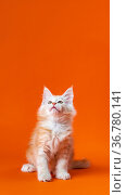 Pedigreed little cat with beautiful furry red silver fur sitting with head up on orange background. Стоковое фото, фотограф А. А. Пирагис / Фотобанк Лори