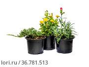 Саженцы гвоздики, можжевельника и хризантемы в горшках на белом фоне. Стоковое фото, фотограф V.Ivantsov / Фотобанк Лори
